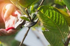 Gardener pruning trees with pruning shears on nature background Stock Photo