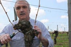 Gardener pruning vines Royalty Free Stock Image