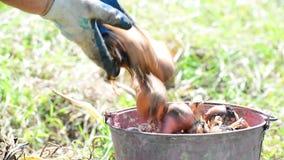 Gardener puts onions in bucket. Gardener puts onions in a bucket stock footage