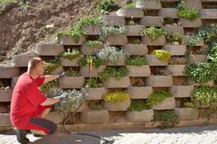 Gardener relies flowers in retaining concrete wall Royalty Free Stock Photo