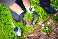 Gardener Replanting Flowers. Gardener Replanting Small Flowers. Closeup Photo. Spring Replanting in a Garden Stock Image