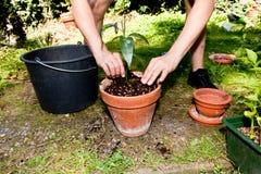 Gardener repot green aloe vera plant in garden Stock Photos