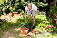 Gardener repot green aloe vera plant in garden Stock Photo