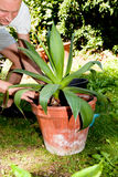 Gardener repot green aloe vera plant in garden Stock Images