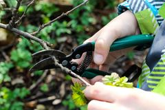 Close up of baby`s hand cutting branch in his garden. Gardener`s hand cuts branch from of bush with pruning scissors. Gardening royalty free stock images