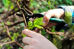Close up of baby`s hand cutting branch in his garden. Gardener`s hand cuts branch from of bush with pruning scissors. Gardening stock images