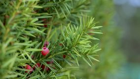 The gardener`s hand cuts the unnecessary twig of the yew with a secateur, close up. The gardener`s hand cuts the unnecessary twig of the yew with a secateur stock video