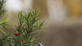The gardener`s hand cuts the unnecessary twig of the yew with a secateur, close up. The gardener`s hand cuts the unnecessary twig of the yew with a secateur stock video footage