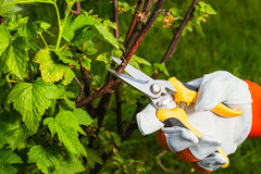 Gardener`s hand with  pruning scissors Royalty Free Stock Image