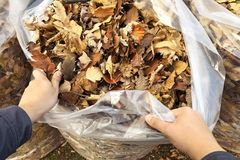 Gardener`s hands clean and stack autumn leaves in full white garbage bags. Seasonal cleaning of foliage royalty free stock photography