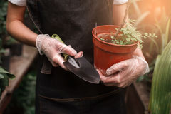 Gardener`s hands holding pot with plant and shovel Stock Photo