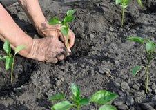 Gardener`s hands planting a pepper seedling stock image