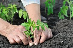 Gardener`s hands planting a tomato seedling royalty free stock photo