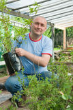 Gardener with seedlings. Male gardener with seedlings in the greenhouse Royalty Free Stock Image