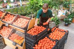 Gardener selling tomatoes and vegetables. In crates royalty free stock photography