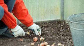 Gardener sets onion in soil Stock Photos