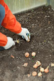 Gardener sets onion in soil at field Stock Images