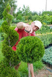 A gardener shaping a coniferous tree with secateur Royalty Free Stock Photography