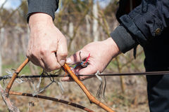 Gardener with a sharp pruner making a grape pruning - cutting branches at spring. Gardener with a sharp pruner making a grape pruning - cutting branches at Stock Image