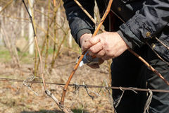 Gardener with a sharp pruner making a grape pruning - cutting branches at spring. Gardener with a sharp pruner making a grape pruning - cutting branches at Royalty Free Stock Photo