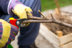 Gardener with a sharp pruner making a grape pruning - cutting branches at spring. Selective focus Stock Images