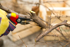 Gardener with a sharp pruner making a grape pruning - cutting branches at spring. Selective focus Royalty Free Stock Images