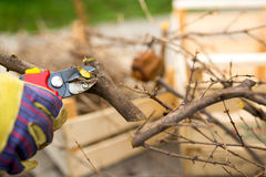 Gardener with a sharp pruner making a grape pruning - cutting branches at spring. Selective focus Royalty Free Stock Photos