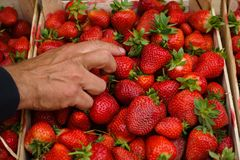 Gardener sorting freshly picked strawberries in wooden crates stock photography