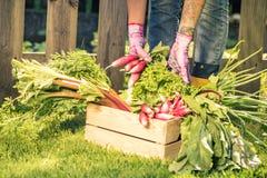 Gardener sorting vegetables in wooden box.  Royalty Free Stock Photo
