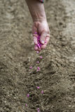 Gardener sows seeds in soil Stock Photos
