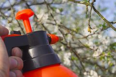 Gardener with spraying a blooming fruit tree against plant diseases and pests. Use hand sprayer with pesticides in the stock image