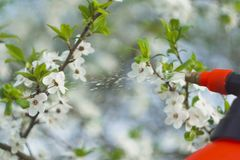 Gardener with spraying a blooming fruit tree against plant diseases and pests. Use hand sprayer with pesticides in the stock images