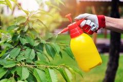 Gardener spraying cherry tree against pests and diseases. Closeup of gardener spraying cherry tree against pests and diseases Stock Photo