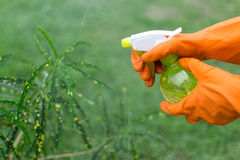 Gardener Spraying House Plant Stock Photo