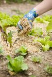 Gardener spreading a straw mulch around plants. Gardener spreading a straw mulch around planted seedlings to fertilize and protect it from the drought. Natural Stock Photo