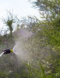 Gardener sprinkles young plum tree from pests and diseases with bottle sprayer. He holds sprayer in his hand. Gardener sprinkles young plum tree from pests and Stock Photo