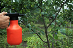 Gardener sprinkles young plum tree from pests and diseases with. Bottle sprayer. He holds sprayer in his hand.  Spray fly on leaves and plum fruit Stock Photo