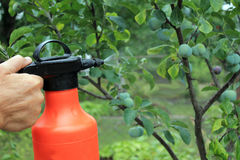 Gardener sprinkles young plum tree from pests and diseases with. Bottle sprayer. He holds sprayer in his hand.  Spray fly on leaves and plum fruit. Close up Royalty Free Stock Image