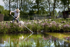 Gardener with straw hat cleans pond. With a net, swimming pond with flowering shore planting and field stones in the background Stock Image