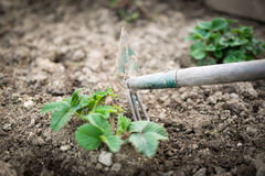 Gardener takes care of the strawberry seedling Stock Photos