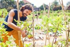 Gardener taking care of vegetable plants. Handsome gardener taking care of vegetable plants Royalty Free Stock Photos
