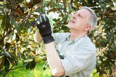 Gardener thinking to prune a tree Royalty Free Stock Photography