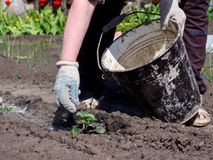 Gardener throws on the plant shoots of wood ash from a bucket.  Stock Photography