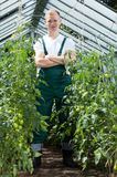 Gardener among tomatoes in greenhouse Stock Image