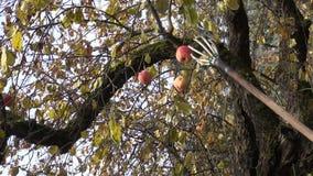 Gardener with tool picking ripe apple stock footage