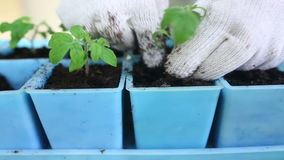 Gardener transplanting tomato seedlings into individual pots stock video footage