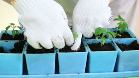 Gardener transplanting tomato seedlings into individual pots. Potting up seedlings, repotting young plants. Adding soil into container. Organic farming and stock footage