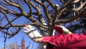 Gardener trimming apple tree stock video footage
