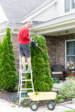 Gardener trimming an Arborvitae or Thuja tree Royalty Free Stock Photography