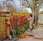 Gardener Trimming a Beech Hedge. Female adult Gardener Trimming a Beech hedge with Garden Shears Stock Photos